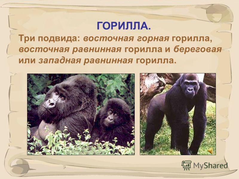 35 ШИМПАНЗЕ род человекообразных обезьян семейства понгид, включает два вида обыкновенный шимпанзе и карликовый шимпанзе, или бонобо.