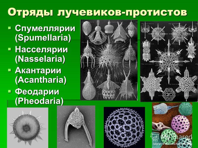 Отряды лучевиков-протистов Спумеллярии (Spumellaria) Спумеллярии (Spumellaria) Насселярии (Nasselaria) Насселярии (Nasselaria) Акантарии (Acantharia) Акантарии (Acantharia) Феодарии (Pheodaria) Феодарии (Pheodaria) СollosphaeraСollosphaera