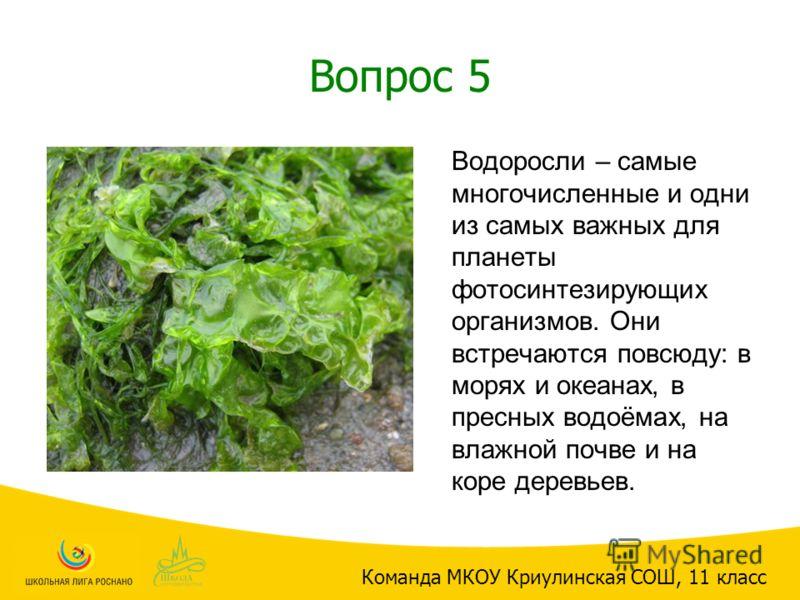 Вопрос 5 Водоросли – самые многочисленные и одни из самых важных для планеты фотосинтезирующих организмов. Они встречаются повсюду: в морях и океанах, в пресных водоёмах, на влажной почве и на коре деревьев. Команда МКОУ Криулинская СОШ, 11 класс