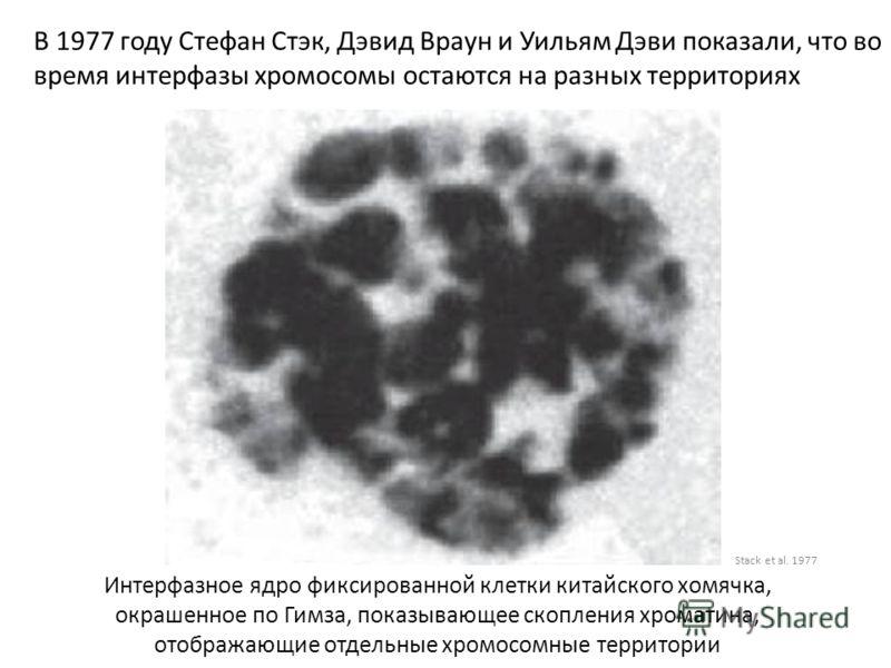 В 1977 году Стефан Стэк, Дэвид Враун и Уильям Дэви показали, что во время интерфазы хромосомы остаются на разных территориях Stack et al. 1977 Интерфазное ядро фиксированной клетки китайского хомячка, окрашенное по Гимза, показывающее скопления хрома