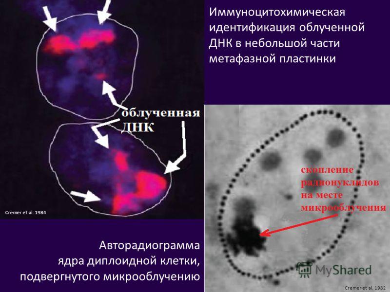 Иммуноцитохимическая идентификация облученной ДНК в небольшой части метафазной пластинки Авторадиограмма ядра диплоидной клетки, подвергнутого микрооблучению Cremer et al. 1982 Cremer et al. 1984