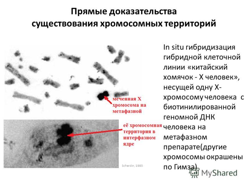 Прямые доказательства существования хромосомных территорий In situ гибридизация гибридной клеточной линии «китайский хомячок - X человек», несущей одну Х- хромосому человека с биотинилированной геномной ДНК человека на метафазном препарате(другие хро