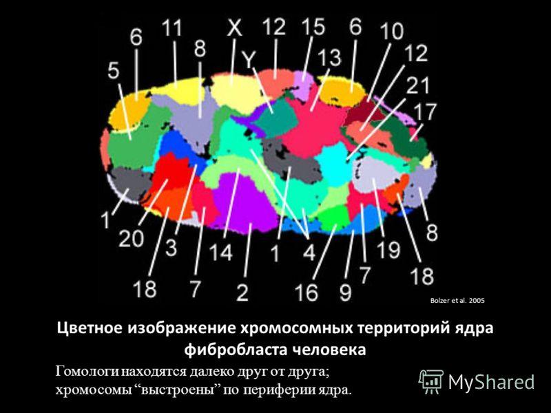 Цветное изображение хромосомных территорий ядра фибробласта человека Гомологи находятся далеко друг от друга; хромосомы выстроены по периферии ядра. Bolzer et al. 2005