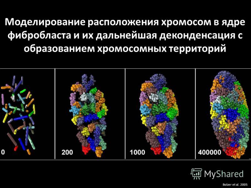 Моделирование расположения хромосом в ядре фибробласта и их дальнейшая деконденсация с образованием хромосомных территорий Bolzer et al. 2005