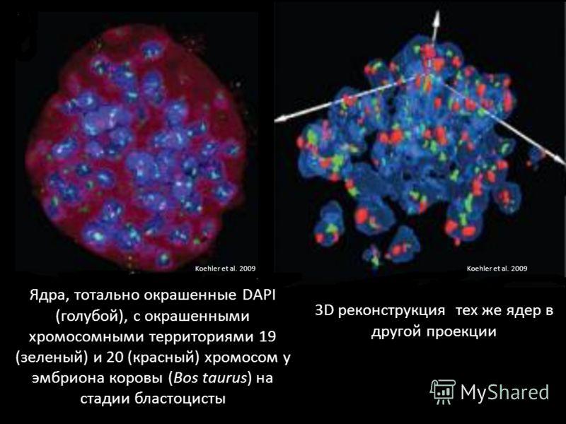Ядра, тотально окрашенные DAPI (голубой), с окрашенными хромосомными территориями 19 (зеленый) и 20 (красный) хромосом у эмбриона коровы (Bos taurus) на стадии бластоцисты 3D реконструкция тех же ядер в другой проекции Koehler et al. 2009