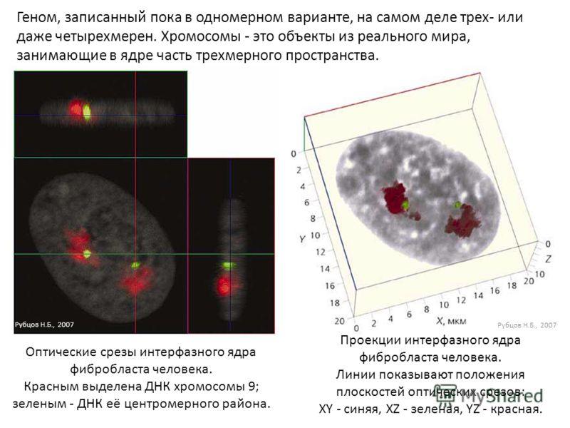 Геном, записанный пока в одномерном варианте, на самом деле трех- или даже четырехмерен. Хромосомы - это объекты из реального мира, занимающие в ядре часть трехмерного пространства. Оптические срезы интерфазного ядра фибробласта человека. Красным выд