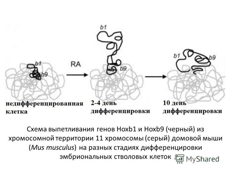 Схема выпетливания генов Hoxb1 и Hoxb9 (черный) из хромосомной территории 11 хромосомы (серый) домовой мыши (Mus musculus) на разных стадиях дифференцировки эмбриональных стволовых клеток