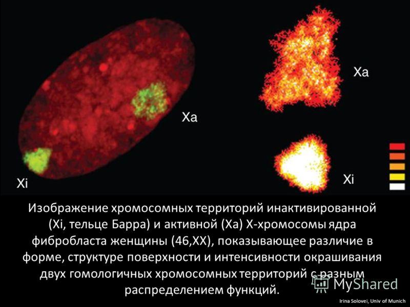 Изображение хромосомных территорий инактивированной (Хi, тельце Барра) и активной (Ха) Х-хромосомы ядра фибробласта женщины (46,XX), показывающее различие в форме, структуре поверхности и интенсивности окрашивания двух гомологичных хромосомных террит