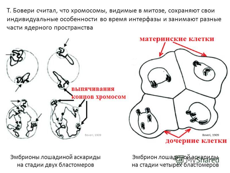 Эмбрионы лошадиной аскариды на стадии двух бластомеров Эмбрион лошадиной аскариды на стадии четырех бластомеров Т. Бовери считал, что хромосомы, видимые в митозе, сохраняют свои индивидуальные особенности во время интерфазы и занимают разные части яд