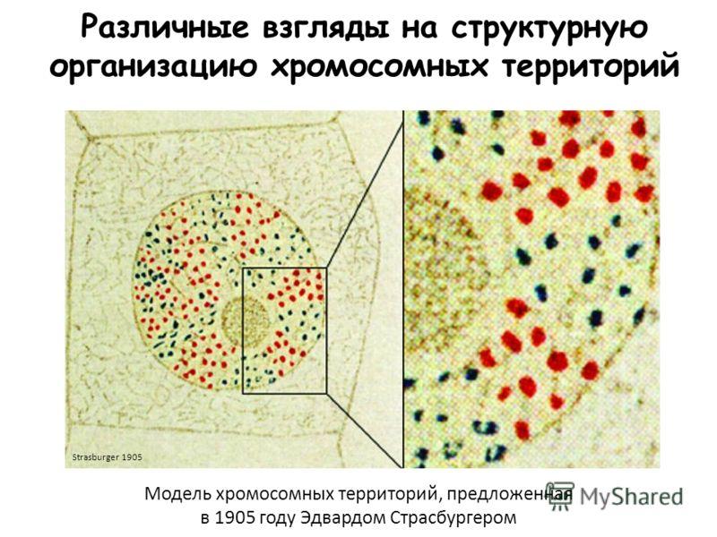Различные взгляды на структурную организацию хромосомных территорий Модель хромосомных территорий, предложенная в 1905 году Эдвардом Страсбургером Strasburger 1905