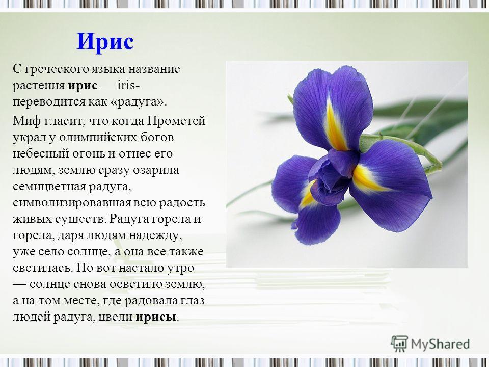 Ирис С греческого языка название растения ирис iris- переводится как «радуга». Миф гласит, что когда Прометей украл у олимпийских богов небесный огонь и отнес его людям, землю сразу озарила семицветная радуга, символизировавшая всю радость живых суще