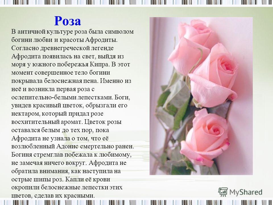 Роза В античной культуре роза была символом богини любви и красоты Афродиты. Согласно древнегреческой легенде Афродита появилась на свет, выйдя из моря у южного побережья Кипра. В этот момент совершенное тело богини покрывала белоснежная пена. Именно