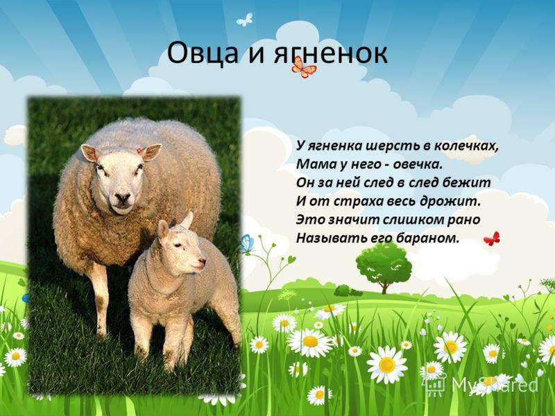 Овца и ягненок У ягненка шерсть в колечках, Мама у него - овечка. Он за ней след в след бежит И от страха весь дрожит. Это значит слишком рано Называть его бараном.