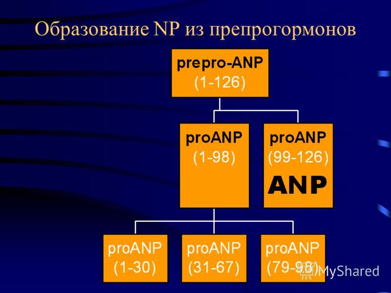 Образование NP из препрогормонов