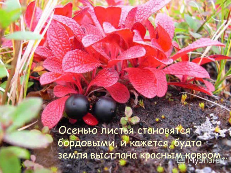 Осенью листья становятся бордовыми, и кажется, будто земля выстлана красным ковром…