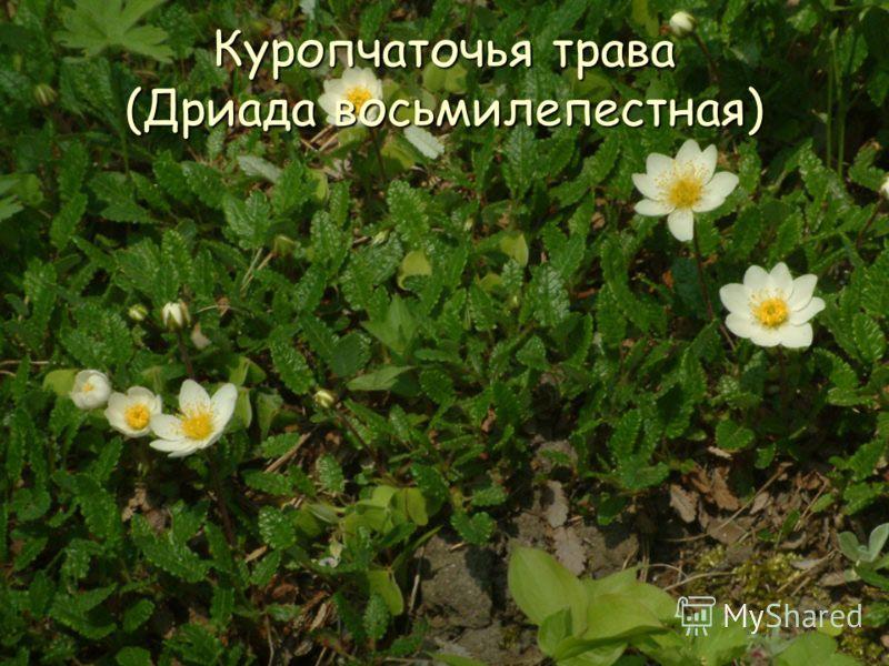 Куропчаточья трава (Дриада восьмилепестная)