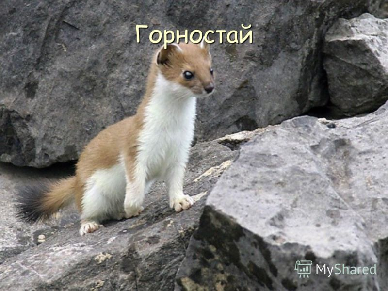 Горностай