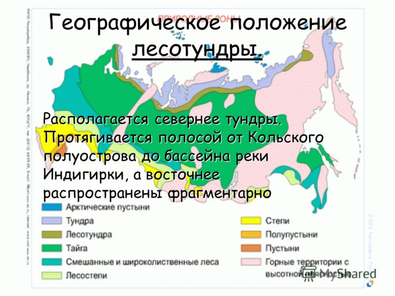 Географическое положение лесотундры. Располагается севернее тундры. Протягивается полосой от Кольского полуострова до бассейна реки Индигирки, а восточнее распространены фрагментарно