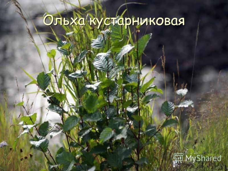 Ольха кустарниковая