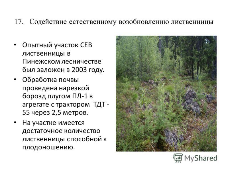 17. Содействие естественному возобновлению лиственницы Опытный участок СЕВ лиственницы в Пинежском лесничестве был заложен в 2003 году. Обработка почвы проведена нарезкой борозд плугом ПЛ-1 в агрегате с трактором ТДТ - 55 через 2,5 метров. На участке