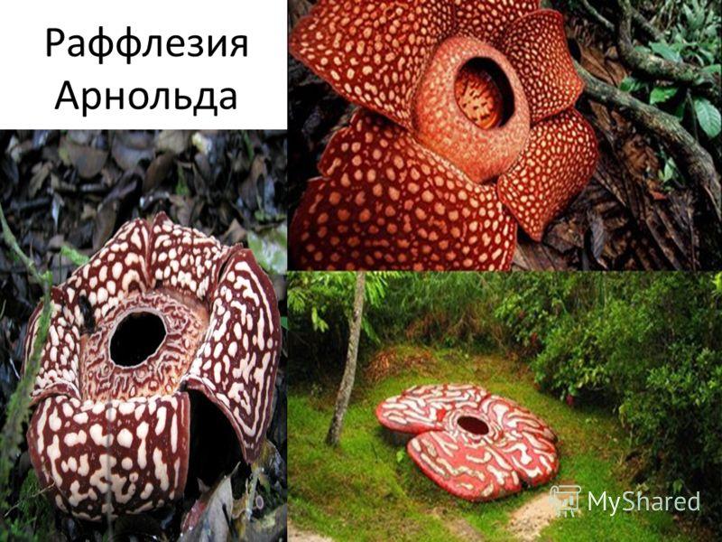 Аморфофаллус титанический - одно из крупнейших соцветий в мире