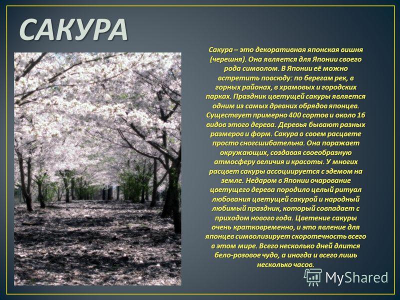 САКУРА Сакура – это декоративная японская вишня ( черешня ). Она является для Японии своего рода символом. В Японии её можно встретить повсюду : по берегам рек, в горных районах, в храмовых и городских парках. Праздник цветущей сакуры является одним