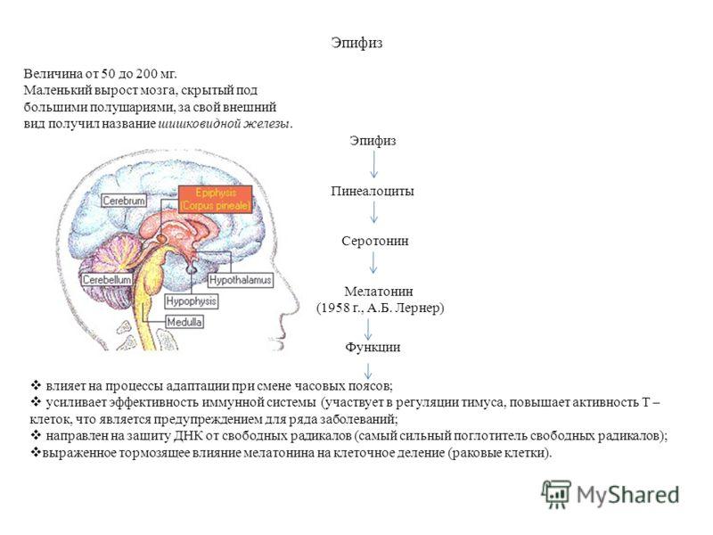 Эпифиз Пинеалоциты Мелатонин (1958 г., А.Б. Лернер) Функции влияет на процессы адаптации при смене часовых поясов; усиливает эффективность иммунной системы (участвует в регуляции тимуса, повышает активность Т – клеток, что является предупреждением дл