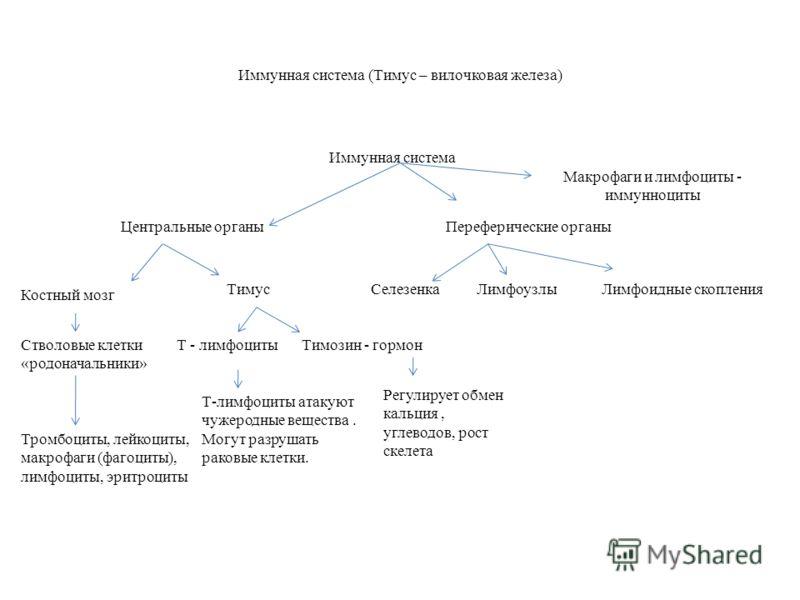 Иммунная система (Тимус – вилочковая железа) Иммунная система Центральные органыПереферические органы Костный мозг ТимусСелезенкаЛимфоузлыЛимфоидные скопления Стволовые клетки «родоначальники» Тромбоциты, лейкоциты, макрофаги (фагоциты), лимфоциты, э