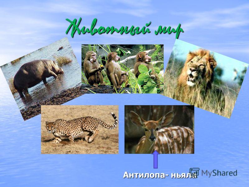 Животный мир Антилопа- ньяла