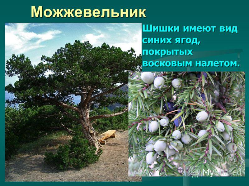 Можжевельник Шишки имеют вид синих ягод, покрытых восковым налетом.