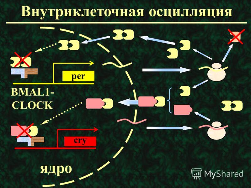 Clock-гены человека для связывания транскрипта с ДНК для димеризации транскрипта связывает конститутивные факторы транскрипции bHLH PAS-a PAS-b Q
