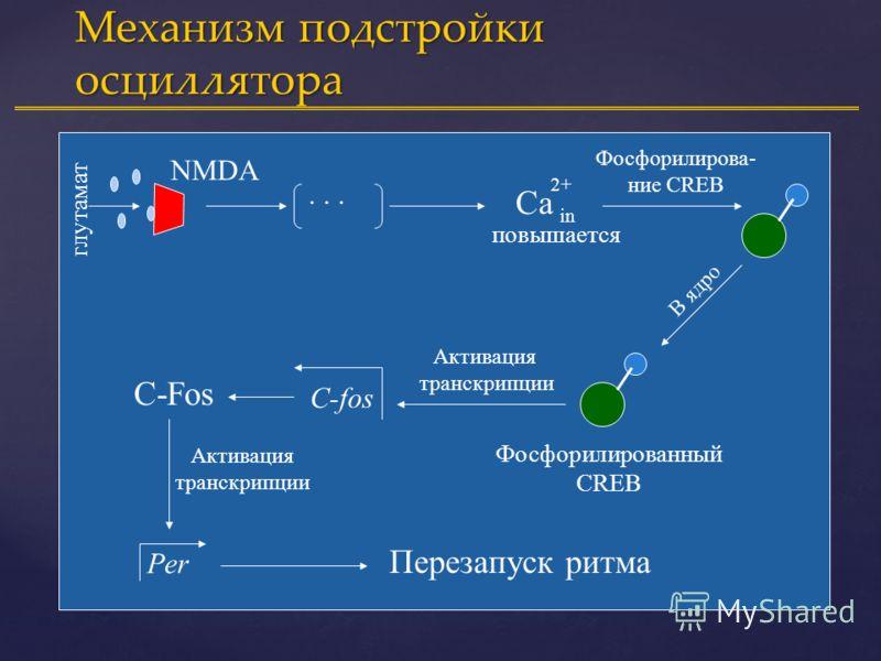 per1 per2 per3 ccg CLOCK cry PERIOD CRYPTOCHROME - + Bmal + фосфорилирование Ядро Молекулярный механизм циркадианного осциллятора ( по L.P.Shaerman, S.Sriram и др.) с в е т