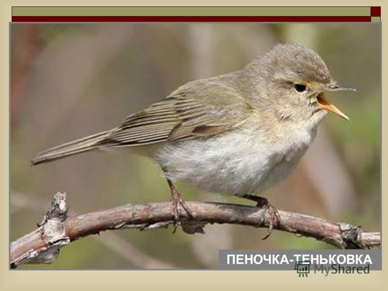 ПЕНОЧКА-ТЕНЬКОВКА