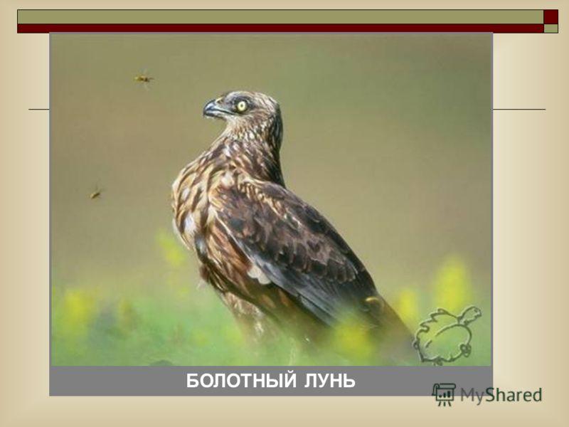 ФИЛИН БОЛОТНЫЙ ЛУНЬ