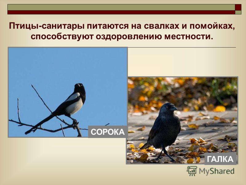 Птицы-санитары питаются на свалках и помойках, способствуют оздоровлению местности. ГАЛКА СОРОКА