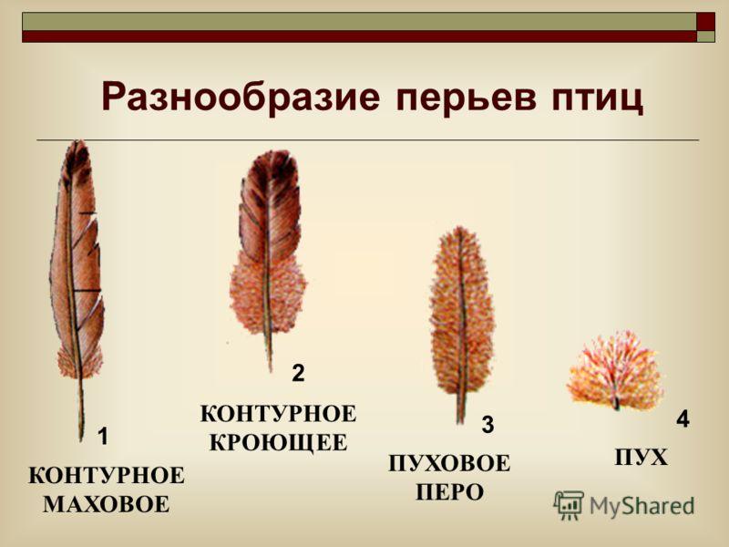 Разнообразие перьев птиц КОНТУРНОЕ МАХОВОЕ КОНТУРНОЕ КРОЮЩЕЕ ПУХОВОЕ ПЕРО ПУХ 1 2 3 4