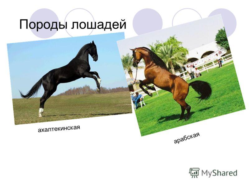 Породы лошадей ахалтекинская арабская