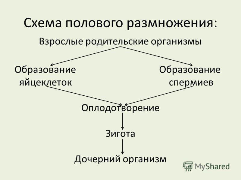 Схема полового размножения: Взрослые родительские организмы Образование яйцеклеток спермиев Оплодотворение Зигота Дочерний организм