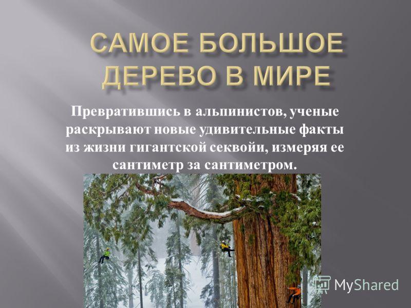 Превратившись в альпинистов, ученые раскрывают новые удивительные факты из жизни гигантской секвойи, измеряя ее сантиметр за сантиметром.