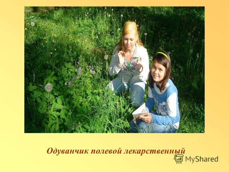 Одуванчик полевой лекарственный