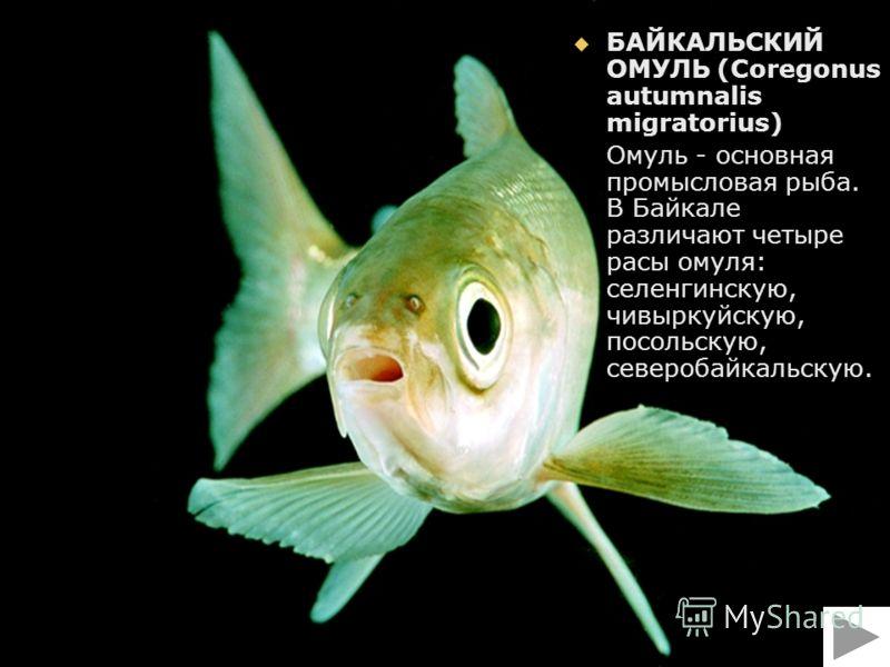 БАЙКАЛЬСКИЙ ОМУЛЬ (Coregonus autumnalis migratorius) БАЙКАЛЬСКИЙ ОМУЛЬ (Coregonus autumnalis migratorius) Омуль - основная промысловая рыба. В Байкале различают четыре расы омуля: селенгинскую, чивыркуйскую, посольскую, северобайкальскую. Омуль - осн