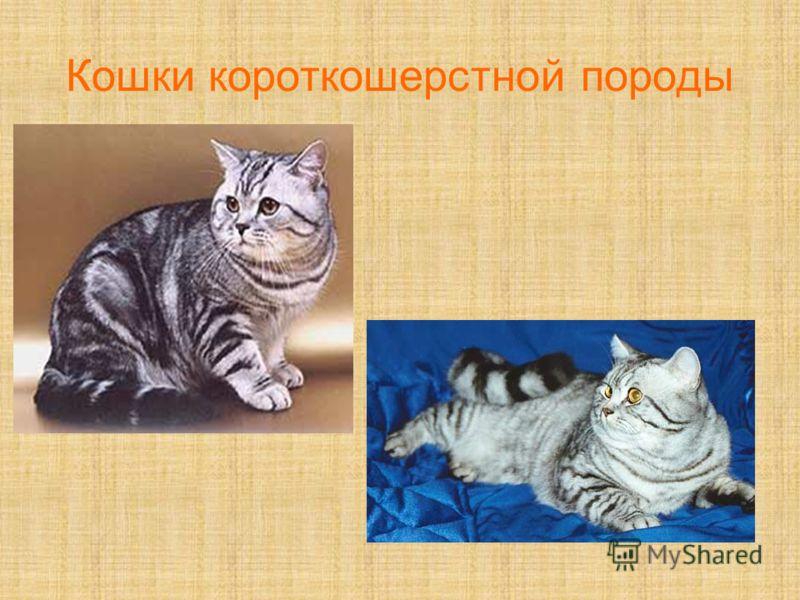 Кошки короткошерстной породы