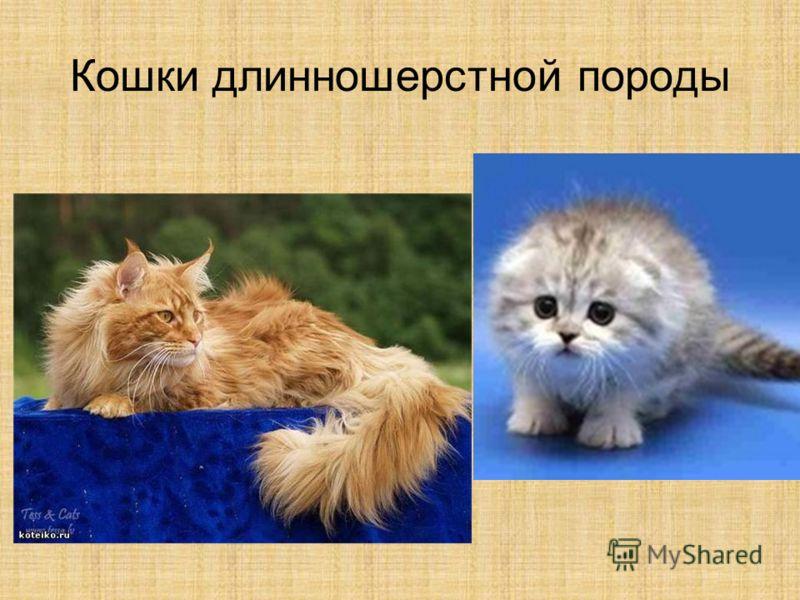 Кошки длинношерстной породы