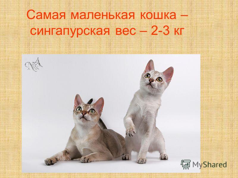 Самая маленькая кошка – сингапурская вес – 2-3 кг