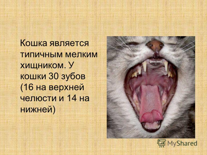 Кошка является типичным мелким хищником. У кошки 30 зубов (16 на верхней челюсти и 14 на нижней)