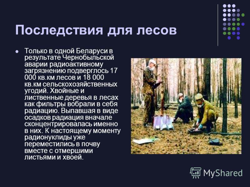 Последствия для лесов Только в одной Беларуси в результате Чернобыльской аварии радиоактивному загрязнению подверглось 17 000 кв.км лесов и 18 000 кв.км сельскохозяйственных угодий. Хвойные и лиственные деревья в лесах как фильтры вобрали в себя ради