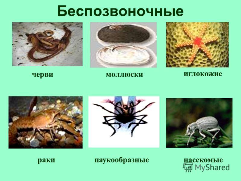 Беспозвоночные моллюскичерви иглокожие ракипаукообразныенасекомые