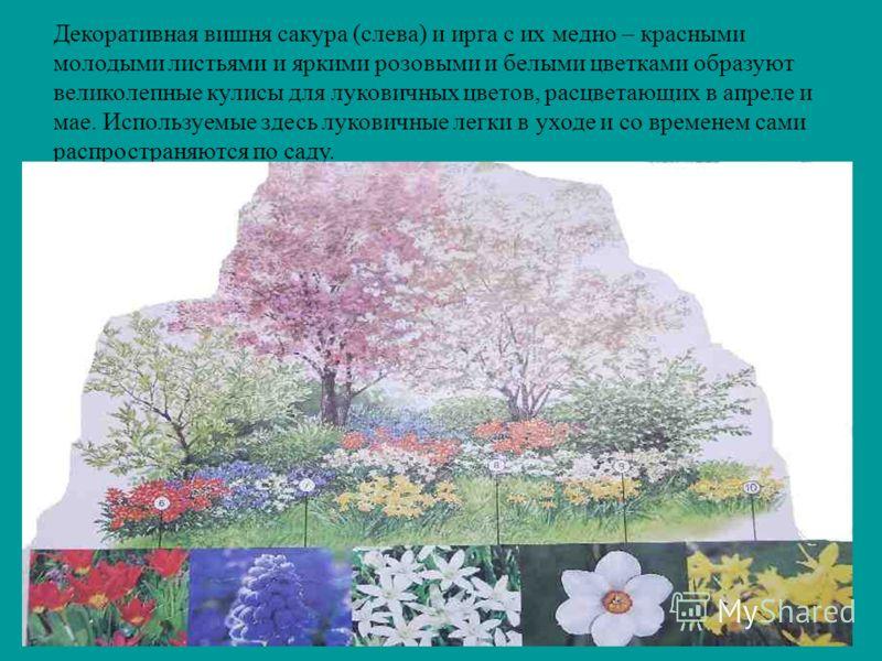Декоративная вишня сакура (слева) и ирга с их медно – красными молодыми листьями и яркими розовыми и белыми цветками образуют великолепные кулисы для луковичных цветов, расцветающих в апреле и мае. Используемые здесь луковичные легки в уходе и со вре