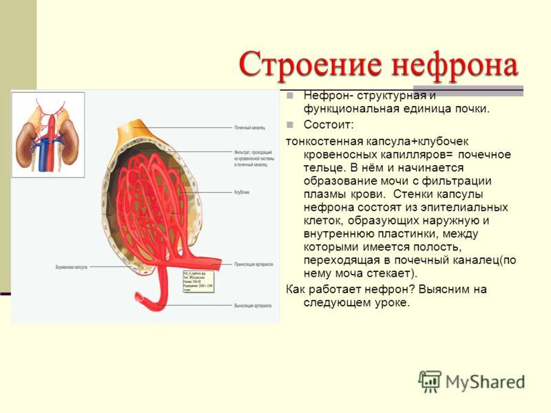 Нефрон- структурная и функциональная единица почки. Состоит: тонкостенная капсула+клубочек кровеносных капилляров= почечное тельце. В нём и начинается образование мочи с фильтрации плазмы крови. Стенки капсулы нефрона состоят из эпителиальных клеток,