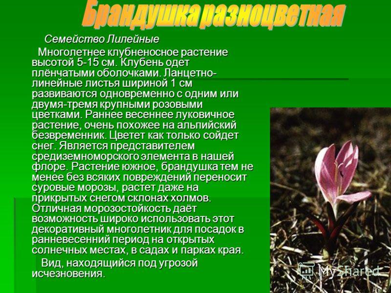 Семейство Лилейные Семейство Лилейные Многолетнее клубненосное растение высотой 5-15 см. Клубень одет плёнчатыми оболочками. Ланцетно- линейные листья шириной 1 см развиваются одновременно с одним или двумя-тремя крупными розовыми цветками. Раннее ве